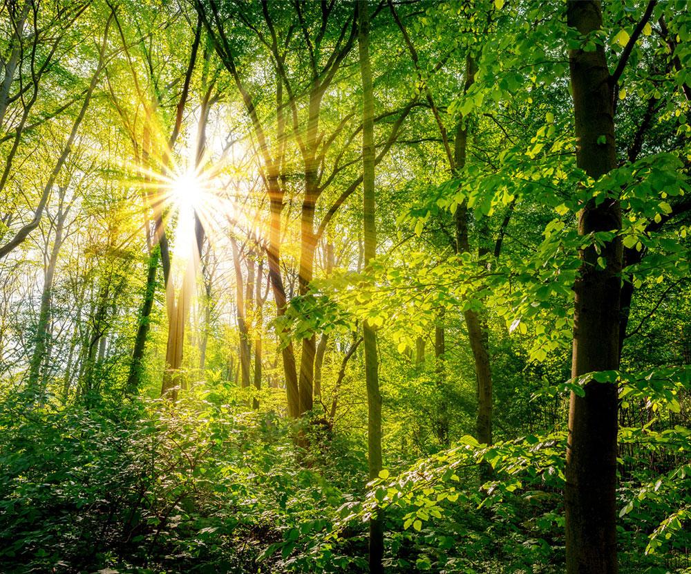 Sonne scheint in grünem Laubwald